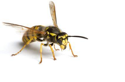 Long Island Bee & Wasp Pest Control Services